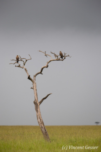 Steppe eagles (Aquila nipalensis) on tree, Kenya, Masai Mara National Reserve
