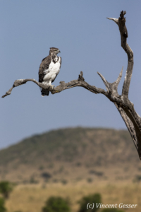 Martial eagle (Polemaetus bellicosus) on tree, Kenya, Masai Mara National Reserve