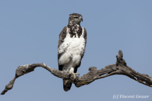 Martial eagle (Polemaetus bellicosus) on branch, Kenya, Masai Mara National Reserve