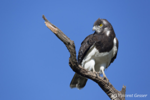 Martial eagle (Polemaetus bellicosus) on branch, Kenya, Masai Mara National Reserve, 2