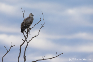 Juvenile martial eagle (Polemaetus bellicosus) on branch, Botswana, Chobe National Park