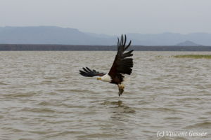 African fish eagle (Haliaeetus vocifer) on Lake Baringo, Kenya, 1