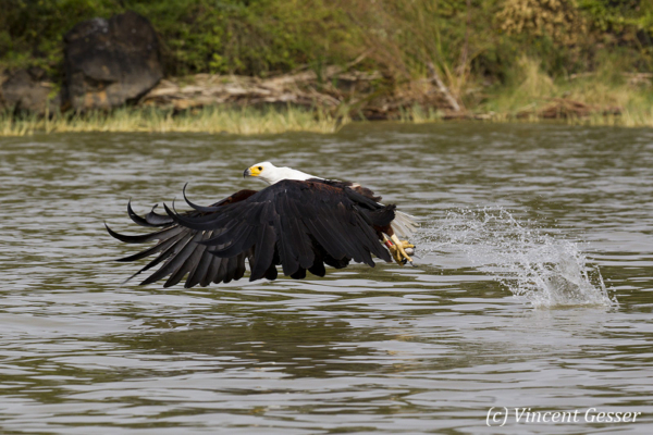 African fish eagle (Haliaeetus vocifer) on Lake Baringo, Kenya, 11