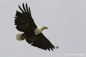 African fish eagle (Haliaeetus vocifer) flying, Lake Baringo, Kenya