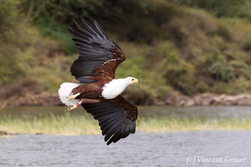African fish eagle (Haliaeetus vocifer) on Lake Baringo, Kenya, 17
