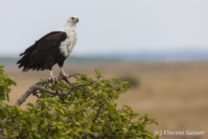 African fish eagle (Haliaeetus vocifer) on tree, Masai Mara National Reserve, Kenya, 1