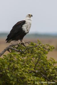 African fish eagle (Haliaeetus vocifer) on tree, Masai Mara National Reserve, Kenya, 2