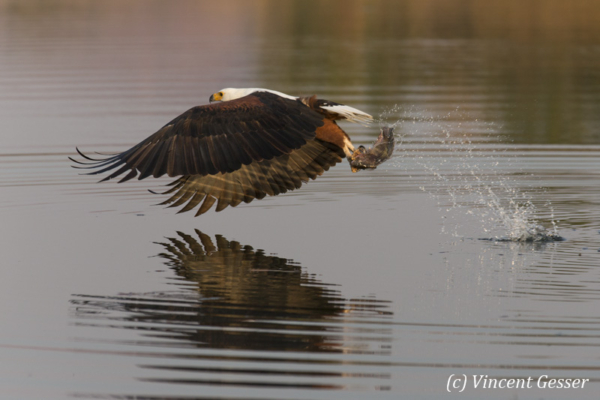 African fish eagle (Haliaeetus vocifer) catching fish on Lake Kariba, Zimbabwe, 1