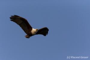 African fish eagle (Haliaeetus vocifer) in flight, Lake Kariba, Zimbabwe, 1