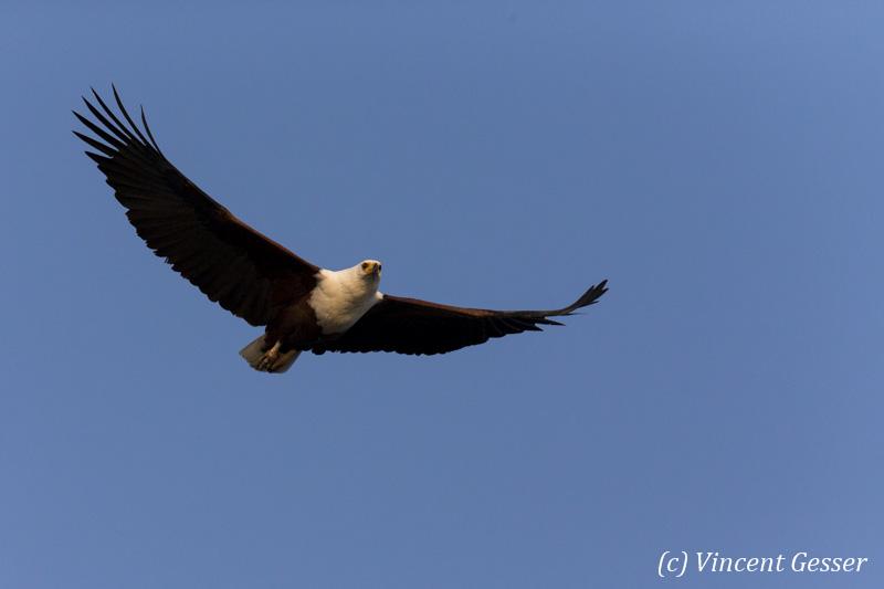 African fish eagle (Haliaeetus vocifer) in flight, Lake Kariba, Zimbabwe, 2