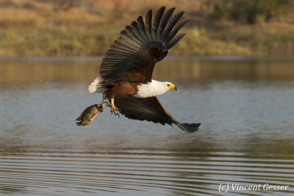 African fish eagle (Haliaeetus vocifer) catching fish on Lake Kariba, Zimbabwe, 2