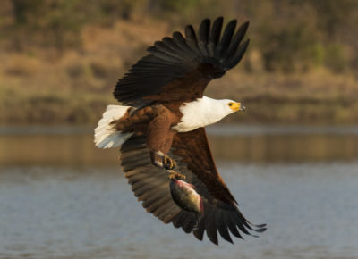 African fish eagle (Haliaeetus vocifer) catching fish on Lake Kariba, Zimbabwe, 3