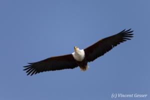 African fish eagle (Haliaeetus vocifer) in flight, Lake Kariba, Zimbabwe, 3