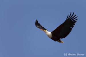 African fish eagle (Haliaeetus vocifer) in flight, Lake Kariba, Zimbabwe, 4