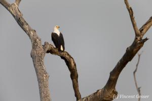 African fish eagle (Haliaeetus vocifer) on tree, Lake Kariba, Zimbabwe