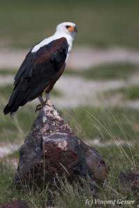 African fish eagle (Haliaeetus vocifer) on stone, Amboseli National Park, Kenya
