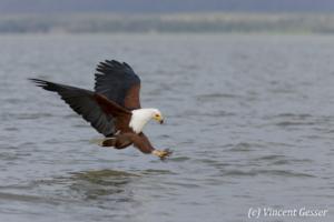 African fish eagle (Haliaeetus vocifer) on Lake Baringo, Kenya