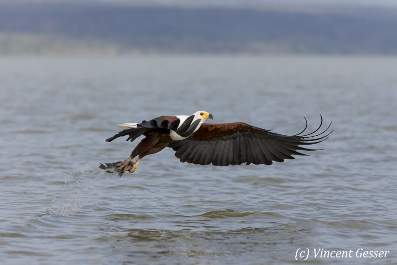 African fish eagle (Haliaeetus vocifer) on Lake Baringo, Kenya