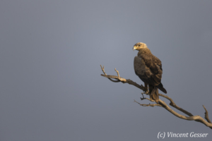 Tawny Eagle (Aquila rapax) observing from a branch, Masai Mara National Reserve, Kenya
