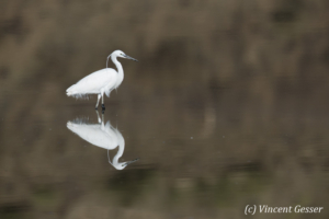 Little Egret (Egretta garzetta) reflexion on the water of Lake Magadi, Shompole Sanctuary, Kenya