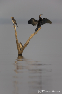 African Darter (Anhinga rufa) drying its wings on a tree, Lake Kariba, Zimbabwe