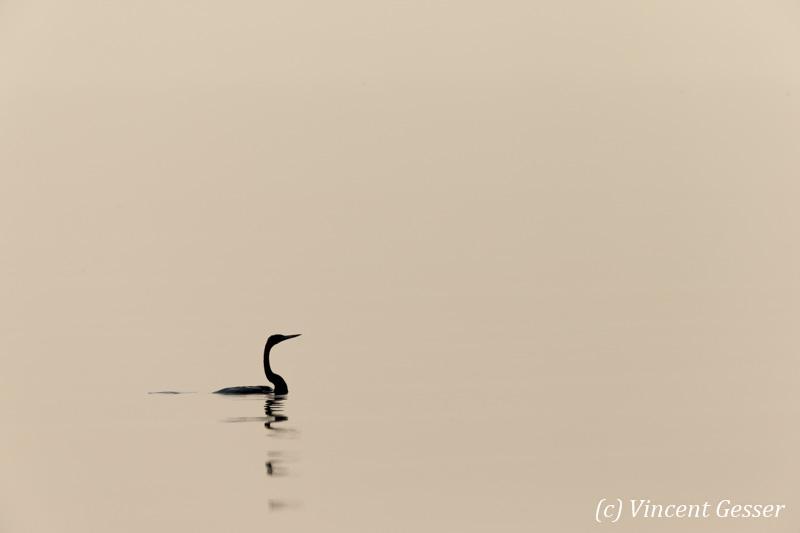 Shadows of African Darter (Anhinga rufa) taking off, Lake Kariba, Zimbabwe, 1