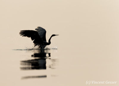 Shadows of African Darter (Anhinga rufa) taking off, Lake Kariba, Zimbabwe, 2
