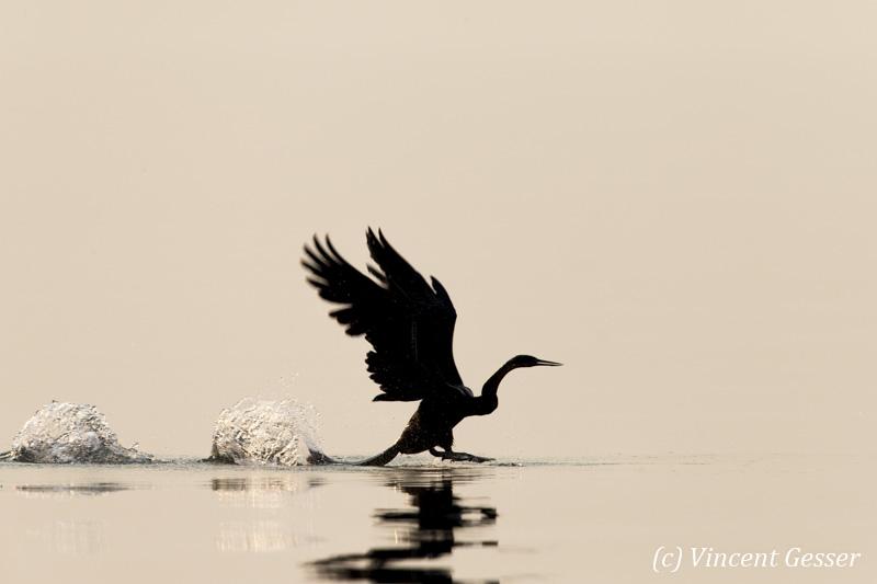 Shadows of African Darter (Anhinga rufa) taking off, Lake Kariba, Zimbabwe, 9