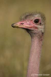 Male ostrich (Struthio massaicus) portrait, Masai Mara National Reserve, Kenya