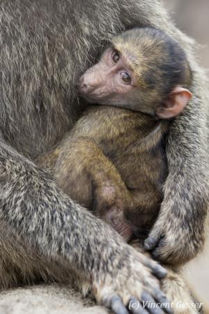 Young baboon (Papio cynocephalus) in his mother's arms, Lake Nakuru National Park, Kenya
