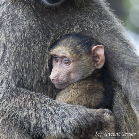 Young baboon (Papio cynocephalus) in his mother's arms, Lake Nakuru National Park, Kenya