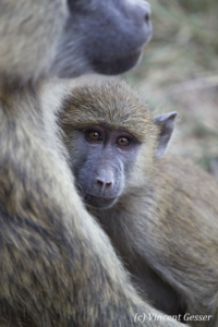 Young baboon (Papio cynocephalus) with his mother, Lake Nakuru National Park, Kenya