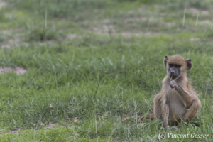 Young baboon (Papio cynocephalus) sitting alone,Amboseli National Park, Kenya