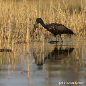 African Openbill (Anastomus lamelligerus) fishing on shore of Lake Kariba, Zimbabwe, 1