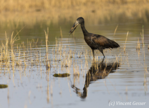 African Openbill (Anastomus lamelligerus) fishing on shore of Lake Kariba, Zimbabwe, 2