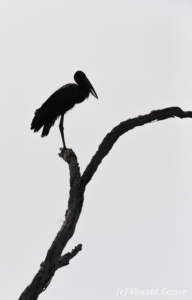 African Openbill (Leptoptilos crumeniferus) profile on a tree on shore of Lake Kariba, Zimbabwe, 1