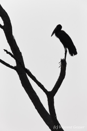 African Openbill (Leptoptilos crumeniferus) profile on a tree on shore of Lake Kariba, Zimbabwe, 2