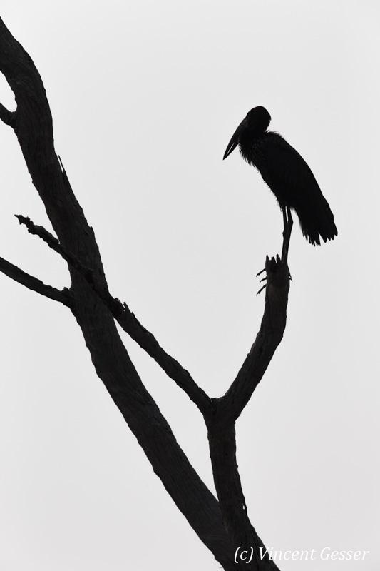 African Openbill (Leptoptilos crumeniferus) profile on a tree on shore of Lake Kariba, Zimbabwe, 2