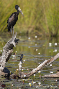 African Openbill (Leptoptilos crumeniferus) observing the water, Khwai Community Concession, Botswana