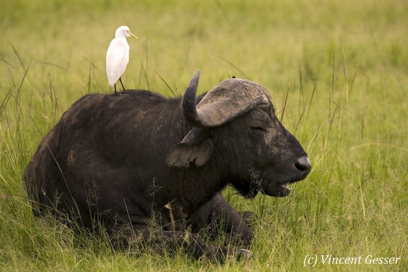 Cape Buffalo (Syncerus caffer) with bird on the back, Masai Mara National Reserve, Kenya