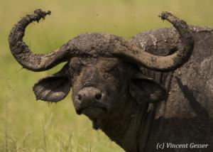 Cape Buffalo (Syncerus caffer) muddy portrait, Masai Mara National Reserve, Kenya