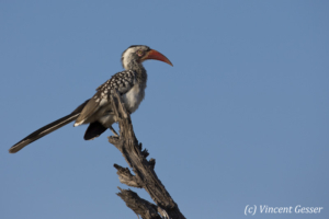 Hornbill (Tockus erythrorhynchus) on a branch, Chobe National Park, Botswana