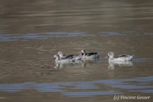 Group of Cape Teals (Anas capensis) swimming, Lake Magadi, Kenya