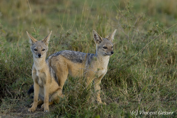 Black backed Jackal (Canis mesomelas) couple, Masai Mara National Reserve, Kenya, 1