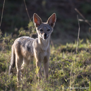 Black backed Jackal (Canis mesomelas) observing, Masai Mara National Reserve, Kenya