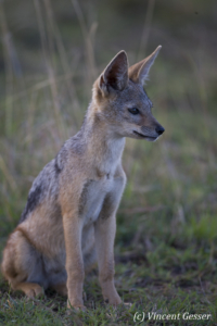 Black backed Jackal (Canis mesomelas) sitting, Masai Mara National Reserve, Kenya