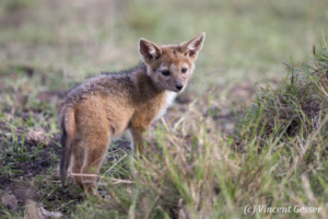 Young black backed Jackal (Canis mesomelas) watching, Masai Mara National Reserve, Kenya