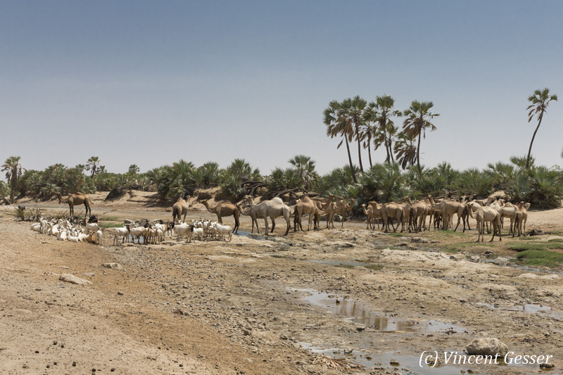 Herd of camels (Camelus) and goats in an oasis of the Chalbi Desert, Kenya