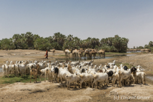 Herd of camels (Camelus) and goats under the surveillance of a Gabbra girl dressed in red in an oasis of the Chalbi Desert, Kenya