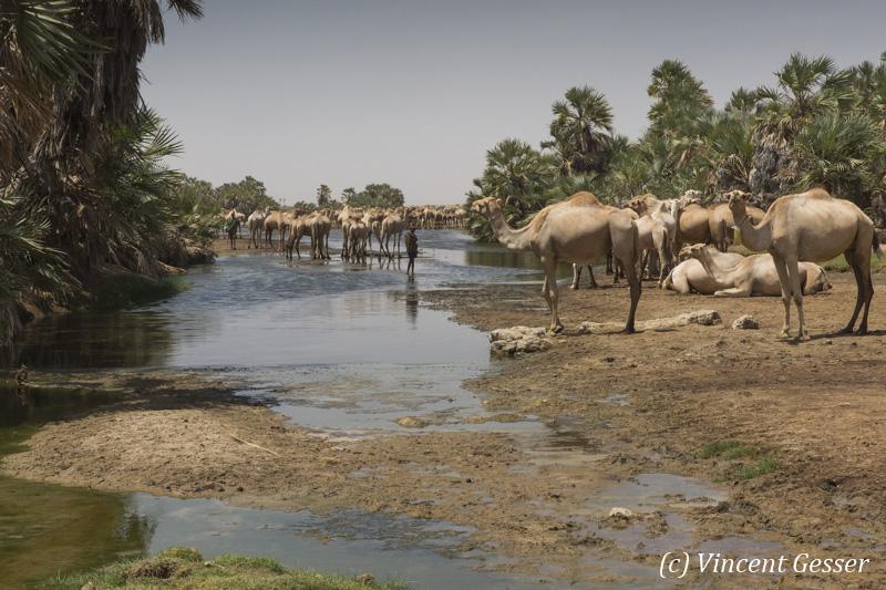 Herd of camels (Camelus) under the surveillance of Gabbra men in an oasis of the Chalbi Desert, Kenya